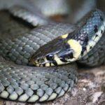 Осторожно — змеи!